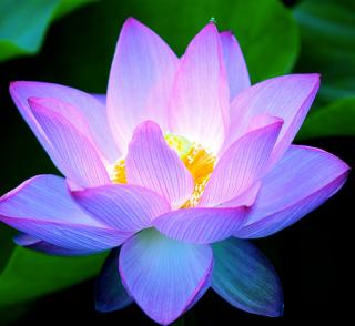 lotus fel