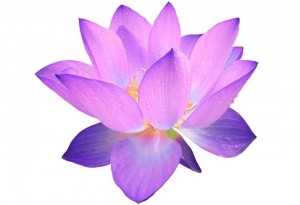 lotus_wit